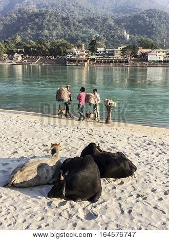 RISHIKESH, INDIA - NOVEMBER 16, 2016: Three cows ruminate quietly on the banks of the Ganges River in the holy city of Rishikesh, India. Three vendors selling bread and other food are in the background.