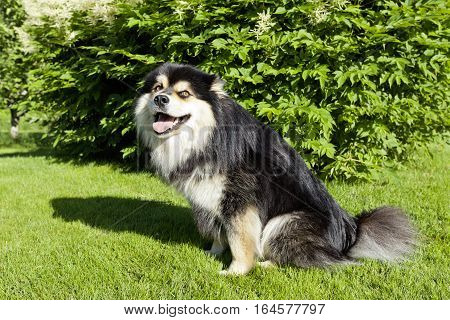 A dog, pet sit on the grass, lawn. Closeup on a Finnish Lapphund. Wait for a command.