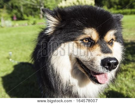 A dog, pet sit on the grass, lawn. Closeup, macro on a Finnish Lapphund. Wait for a command.