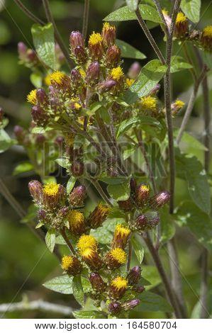 Ploughman's Spikenard - Inula conyza Small flowered composite
