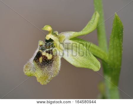 Ophrys aphrodite previously known as Ophrys bornmuelleri Endemic orchid from Cyprus Closeup