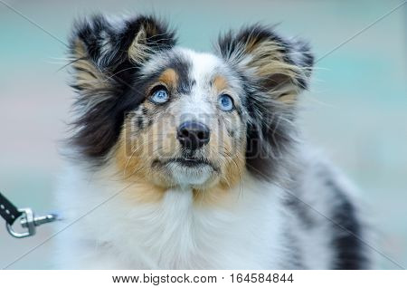Young Sheltie dog breed for a walk in the park.