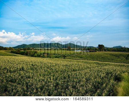 Cornfield farm with sky background in the sunset time
