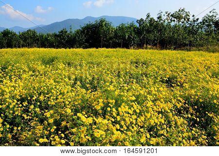 Chrysanthemum indicum Linn flowers. Or Chrysanthemum morifolium Ramat flowers in plantation.
