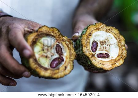 Fresh Cocoa fruit in farmers hands. Organic cacao fruit. Cocoa - healthy food. Cut of cacao fruit.