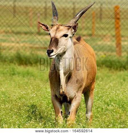 Antelope eland in National reserve Askania-Nova (Ukraine)