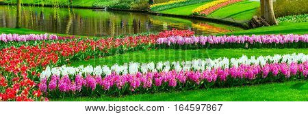 Colorful tulips and hyacinth flowerbeds in Keukenhof spring garden, Holland