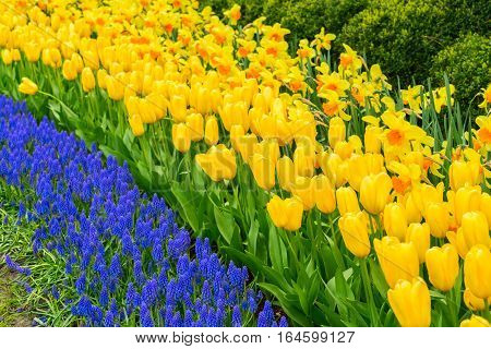 fresh yellow spring growing blooming daffodils, tulips and bluebells flowers