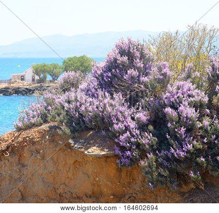 Flowering bushes on the coast of Cretan Sea Crete Greece.