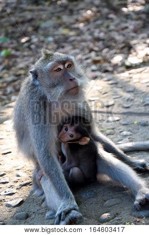 Baby monkey with mother monkey. Monkey Forest Bali Indonesia.