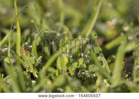 Background image of grass covered by dew water drops.