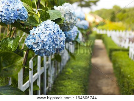 Blue Hydrangea flower (Hydrangea macrophylla) in a garden. Close-up. Copy space