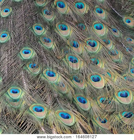 abstract colorful pattern on the tail feathers of a peacock