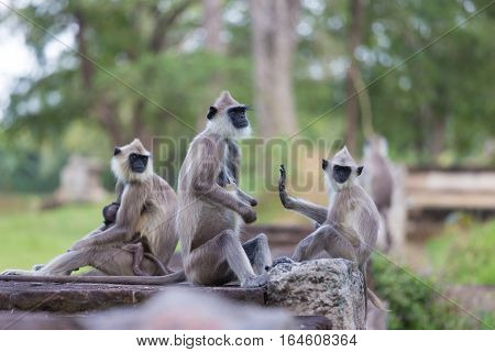 Hanuman Langur, Semnopithecus entellus, monkeys family sitting on wall, Sri Lanka.