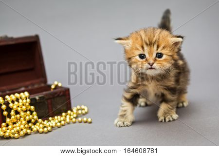 Little kitten British marble with Christmas toys on a grey background
