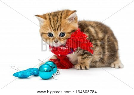 Cute kitten breeds British Marble in a red scarf isolated on white.