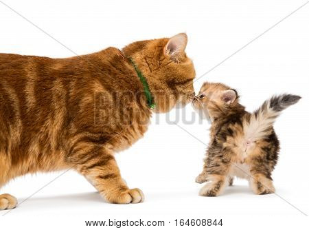 Little kitten and adult cat breed British marble isolated on white