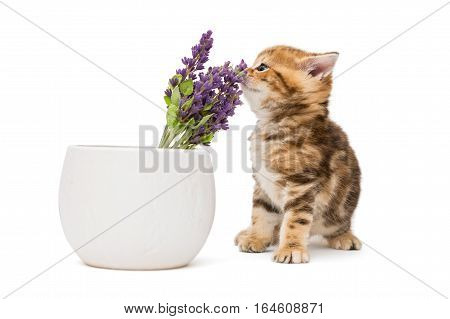 Kitten and a vase with lavender flower isolated on white