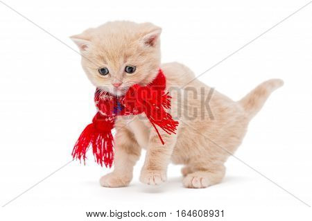 Little kitten British in a red scarf isolated on white.