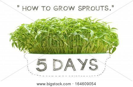 Grow sprouts 5 days from green beans seed small plant at home for your clean food Photo font view and isolate white background has pencil hand draw dash-shaped bowl.