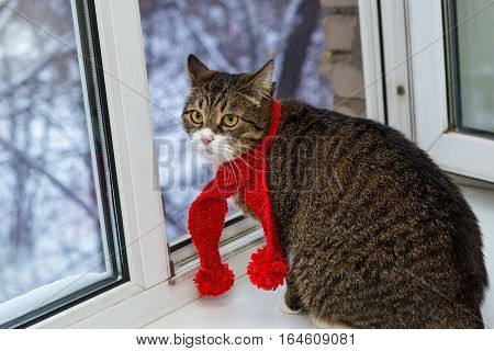 Gray domestic cat in a red scarf sits on the windowsill and looks at winter view