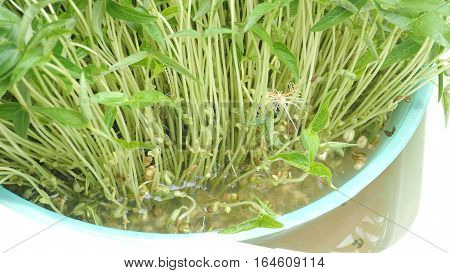 How to grow sprouts 5 days in basket with water from green beans seed small plant At home for your clean food.