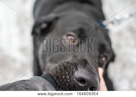 Black labrador retriever biting on a man's arm in the winter