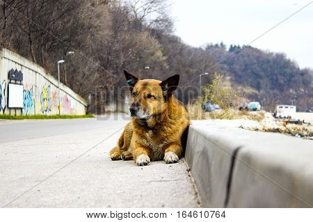 stray dog lies on the road Problem of animals