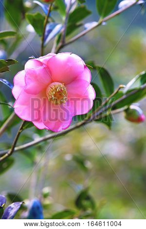 Pink Camellia flower,beautiful pink flower and buds with raindrops blooming in the garden