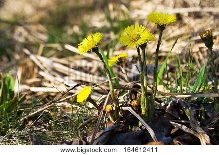 Small yellow flowers mother and stepmother bloom outdoors in spring nature