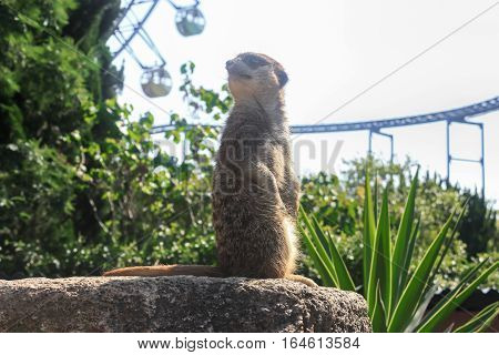 Zoo meerkat small mammal watching animal protection group view