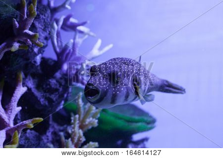 Fish swimming with open mouth. Arothron hispidus