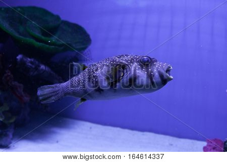 Puffer fish in aquarium. Arothron hispidus. Marine fish