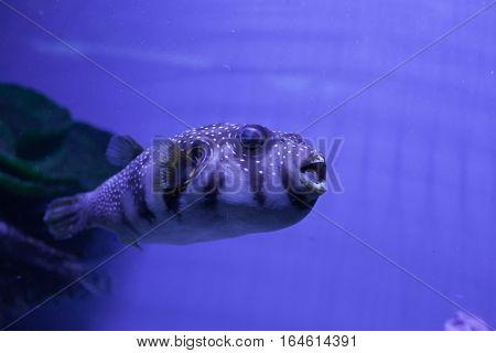 Puffer fish swimming in aquarium. Arothron hispidus