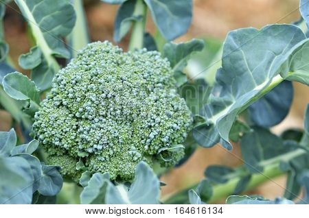 Raw Broccoli In The Farm