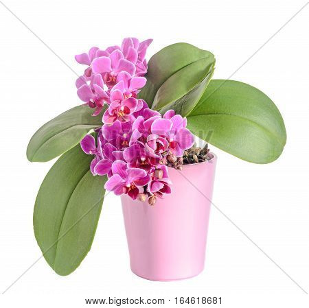 Purple, Pink Orchids Flowers, Orchidaceae, Phalaenopsis Known As The Moth Orchid, Abbreviated Phal.
