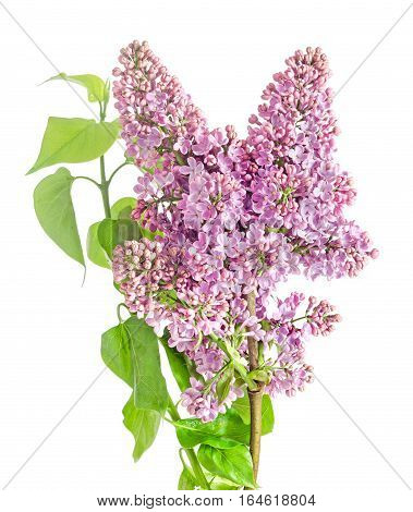Pink, Purple, Syringa Vulgaris (lilac Or Common Lilac), Family Oleaceae, Close Up, White Background