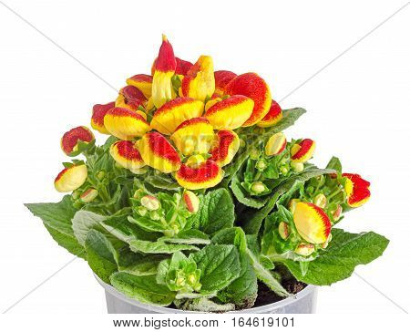 Yellow with red Cypripedium calceolus lady's-slipper orchid genus Cypripedium isolated poster