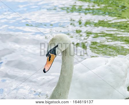 White Swan With Orange Beak, Feathers, Close Up, Isolated On Water Background