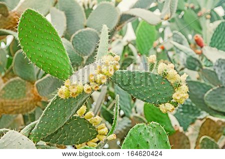 Green Opuntia Ficus-indica, Cactus. Know As Indian Fig Opuntia, Barbary Fig, Cactus Pear, Spineless