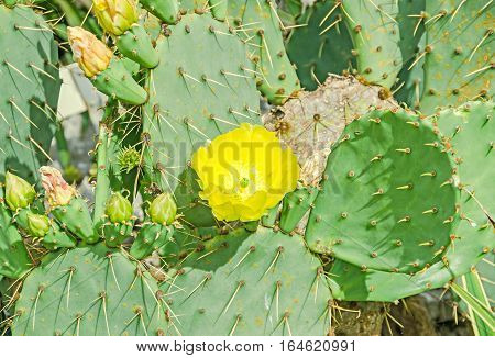 Yellow Flower Opuntia Humifusa, The Devils Tongue, Eastern Prickly Pear Or Indian Fig. Cactus Flower