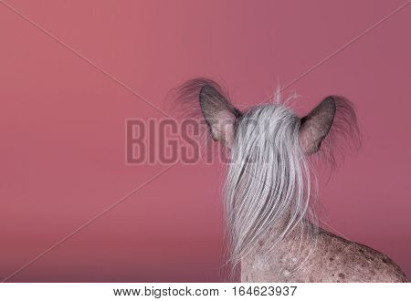 Crested chinese dog portrait in studio with pink background