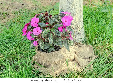 Pink Impatiens Flowers, Green Grass, Cloth Cover, Outdoor