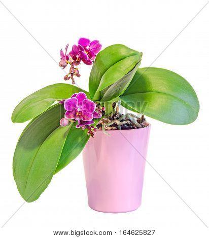 Pink Orchid Flowers Pink Flowerpot