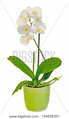 White Orchid Flowers In A Green Vase