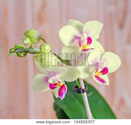 Yellow Orchid Flower With Red Pistils