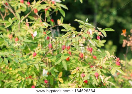 Red rosehip berries on branches among leaves at bright sunny day