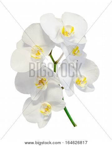White Orchid Flowers Isolated