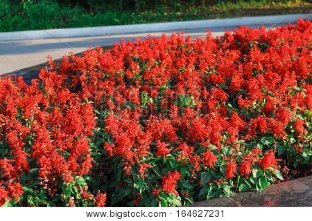 Beautiful red flowers blossomed on a warm spring day in the flower bed city Park
