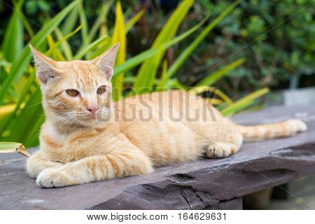 Thailand Cat lethargic. Cute cat, cat lying on the wooden floor in the background blurred close up playful cats, cats relaxing vacation.